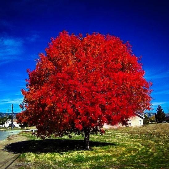 Maple Autumn Blaze