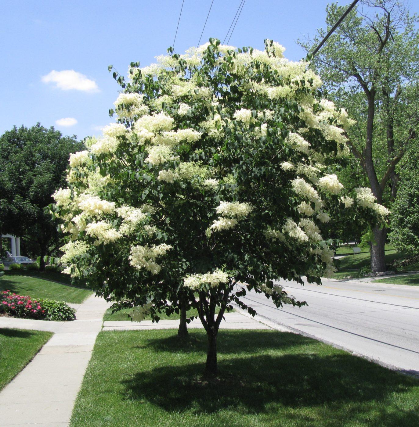 Lilac Japanese tree