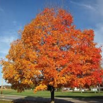 Maple fall fiesta sugar tree