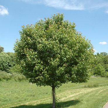Maple northwood tree