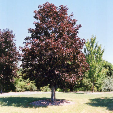 Maple royal red tree